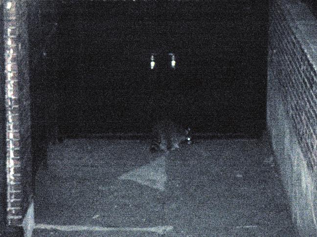 Raccoon in Back Alley